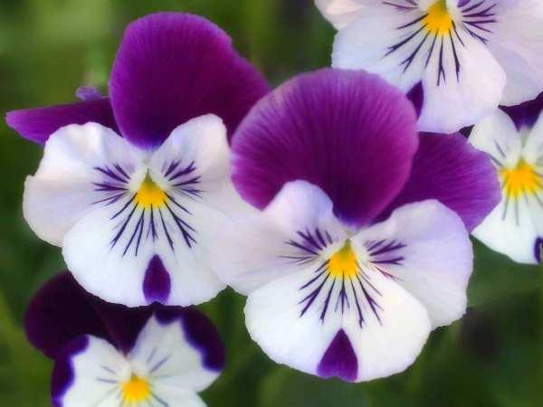 wallflower-flowers-33623890-1600-120033